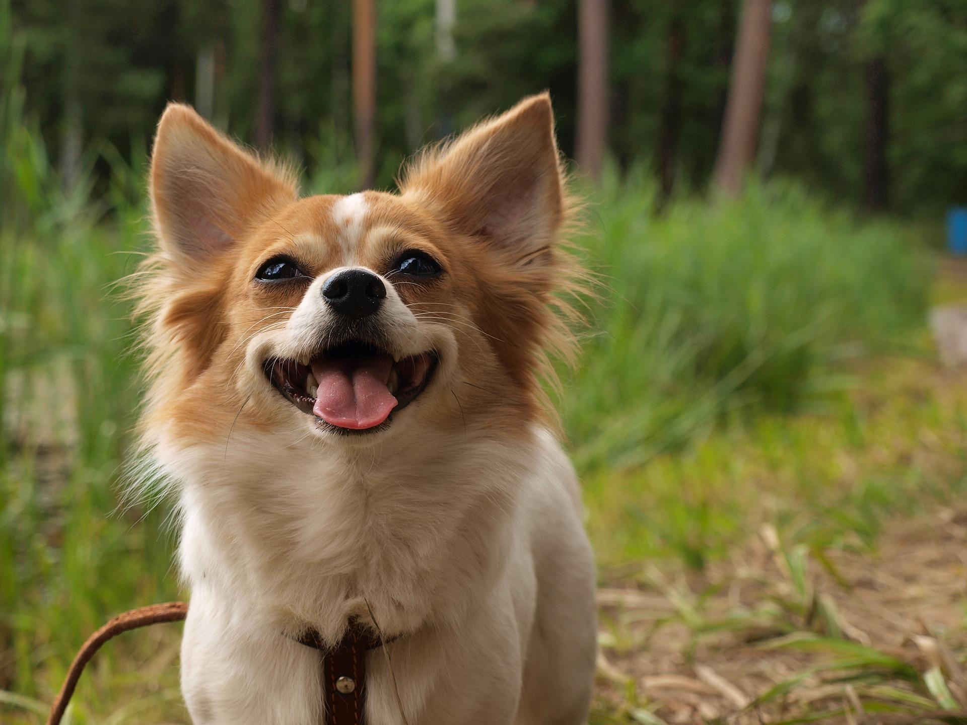 チワックスに合うドッグフードはなに?ミックス犬のための選び方講座