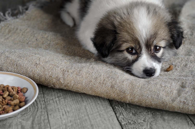 犬がわがままでご飯を食べない時の対処法