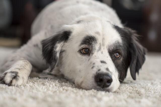 犬が肝不全でご飯を食べない時の対処法